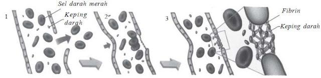 Pengertian dan Fungsi Keping Darah (Trombosit) pada Proses Pembekuan Darah