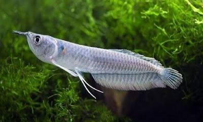 Anakan Ikan Arwana Silver