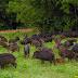 Moradores da capital se assustam com invasam de bando de porcos do mato
