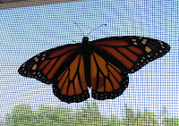 Tagged female Monarch shows missing wing powder on opposite wing - © Denise Motard