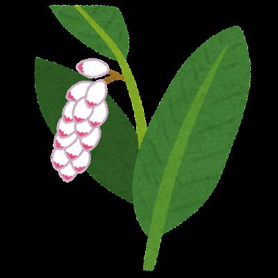 月桃のイラスト(花)
