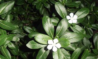 Cape periwinkle flower