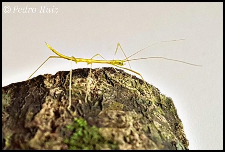 """Ninfa L1 de Candovia evoneobertii """"Paulinia"""", 1,2 cm de longitud"""