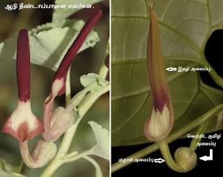 Aristolochia bracteolata flower
