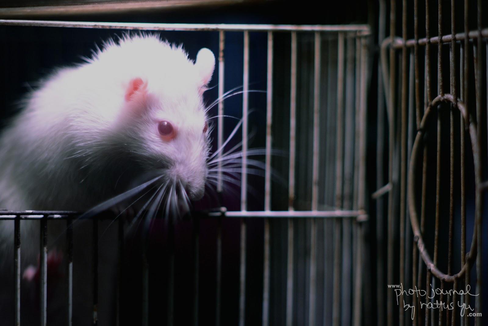 When A Cat Steals A Rat's Food...
