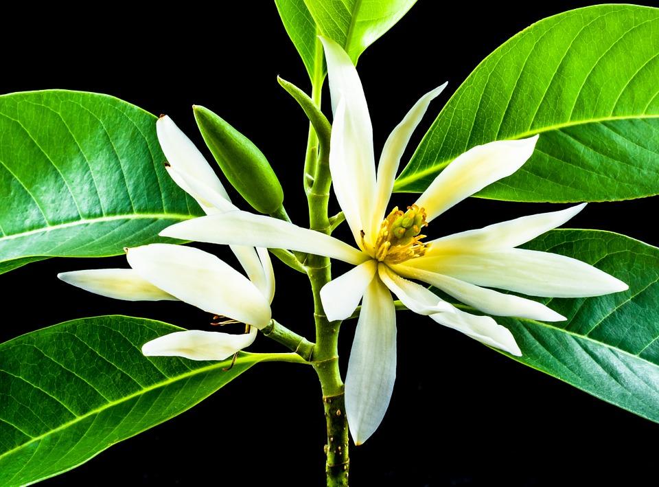 Bunga cempaka atau bunga kantil