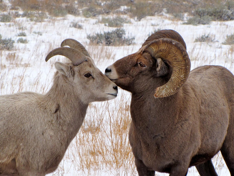 Imagenes De Borrego Cimarron: Animales En Peligro De Extinción: Borrego Cimarrón