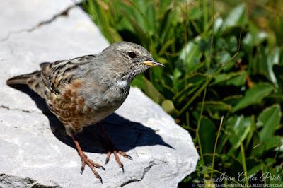 Acentor Alpino - Prunella Collaris (fotografia-de-naturaleza.blogspot.com)