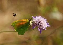 Papallones de casa meva - Llimonera taronja - Gonepteryx cleopatra per Ferran Pestaña a Flickr
