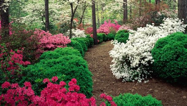 Самшит и рододендроны в тенистом саду