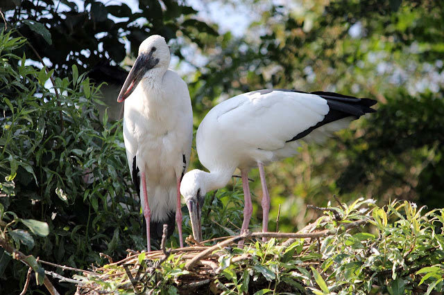 Asian Open-Billed Stork in their nest