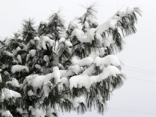 snow covered white pine