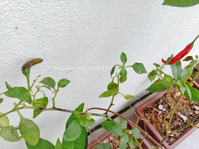 Cerita Kebun Mini Kami Lagi