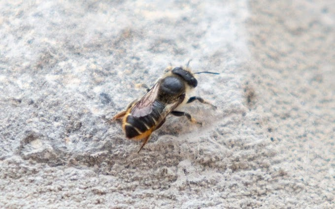 Turkish bee declared wanted by British Government
