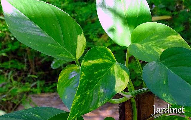 Jiboia, planta pendente
