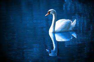 Swan dream meaning, swan in dream meaning, swan dream interpretation, Swan dream meaning islam, swan in dream islam, swan in dream islam, swan in dream spiritual meaning, swan in dream, swan in dream interpretation, swan in dream what does it mean, white swan in dream, seeng swan in dream, black swan in dream meaning, black swan in