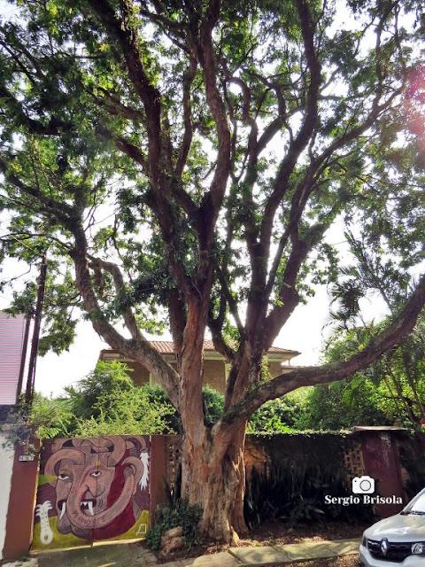 Foto ampla de árvore Pau-Brasil - Casa do Mundo da Lua - Pinheiros - São Paulo