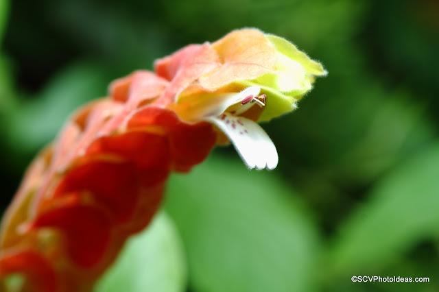 Justicia Brandegeeana - Mexican Shrimp plant flower detail