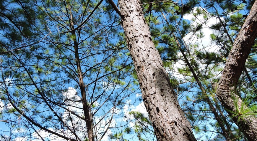 La corteza de los pinos ubicados en el cerro quitasol