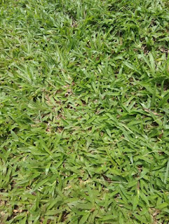 Jual Rumput Gajahan / Paitan | Paket Rumput Gajahan | Jasa Pasang Rumput Gajahan