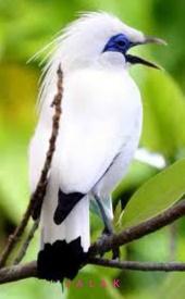 Suara Kicauan Burung Jalak Masteran mp3