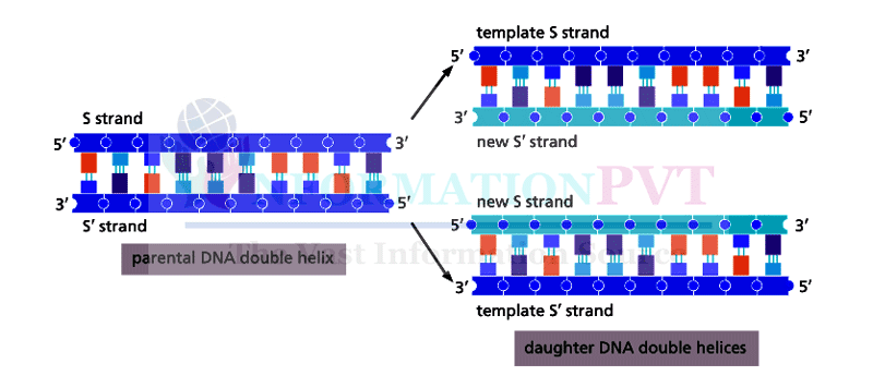 Duplication of DNA diagram