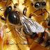 أنواع عسل النحل المغربي حسب الأزهار