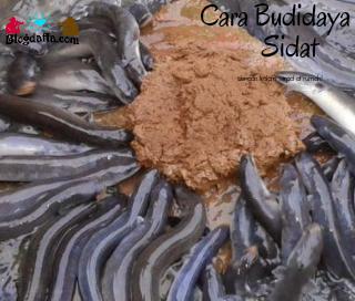 Cara Budidaya Sidat