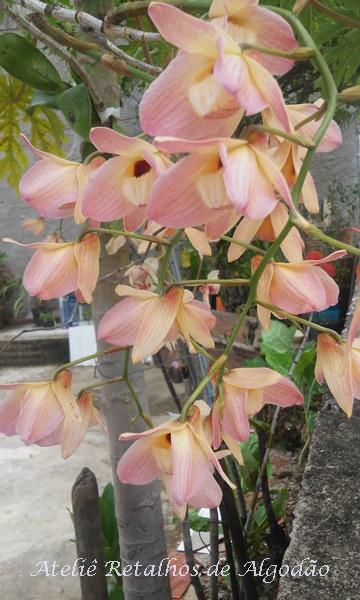 Orquídeas floridas do quintal de casa