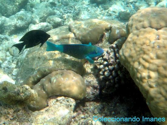 pez loro azul y verde