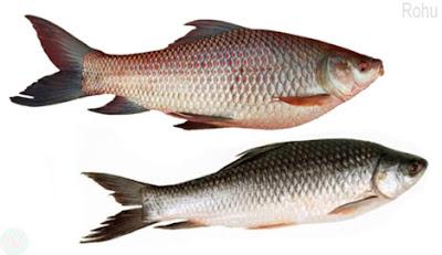 Rohu fish, রুই মাছ