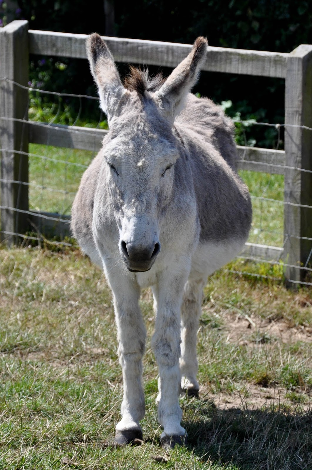 Donkey, The Donkey Sanctuary, Isle of Wight, UK
