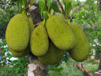 Lots of Benefits of Jackfruit for Human Body