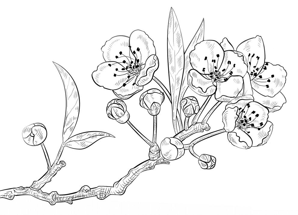 Image Result For Gambar Mewarnai Bunga Sakura