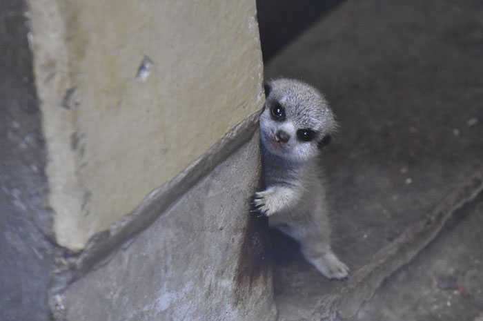 Cuteness Overload: Photographer Captures A Shy-At-First Baby Meerkat Pics