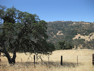 Oak tree in a golden field, tree-studded hillside in the distance.