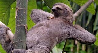 Animal perezoso dormido, sonriendo y cómodo sobre las ramas de un árbol