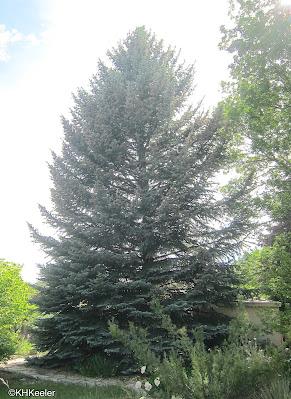 Colorado blue spruce, Picea pungens