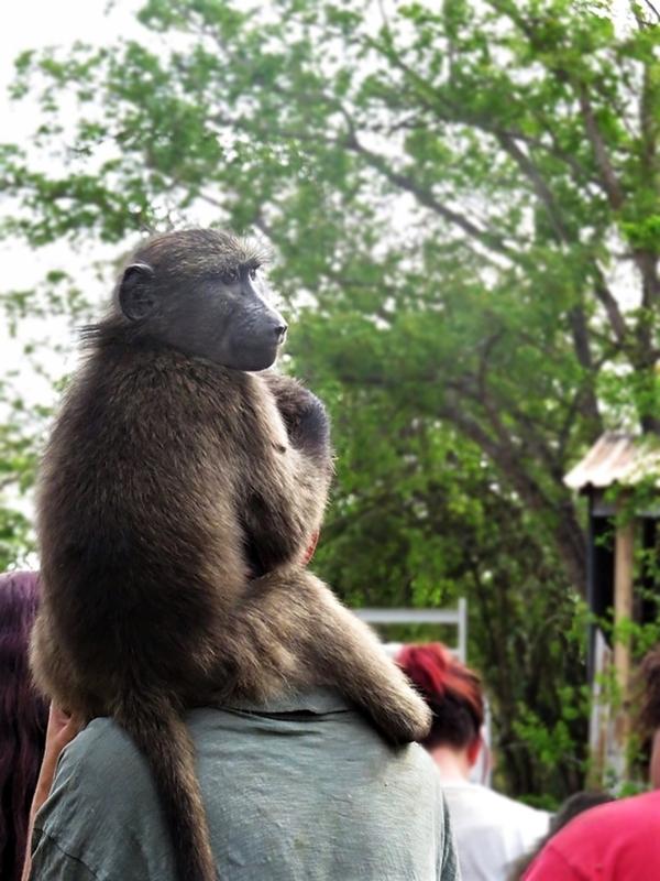 Ein baboon auf meinen Schultern