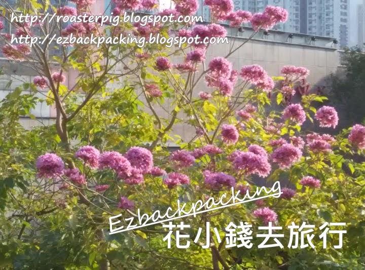 香港紅花風鈴木2021