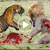Lion vs Tiger Real Fight in Jungle - Watch & Download Videos