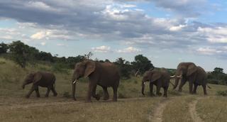 mashatu, elefantti, norsu, safari, botswana