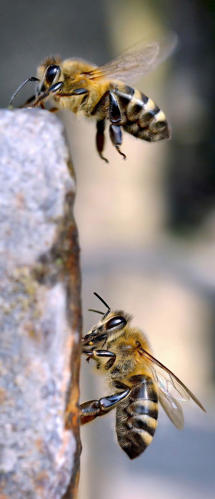 Macro photo of two bees.