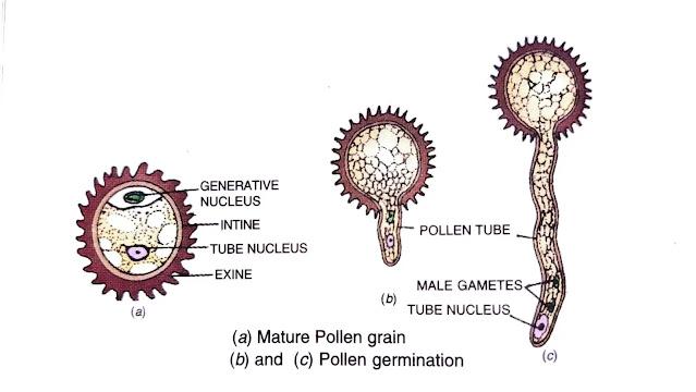describe the process of fertilization in plants