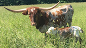 For Sale - Bred Cow