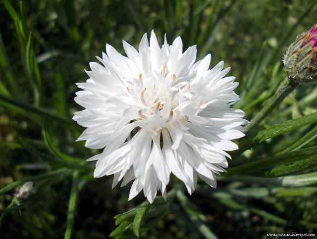 búzavirág
