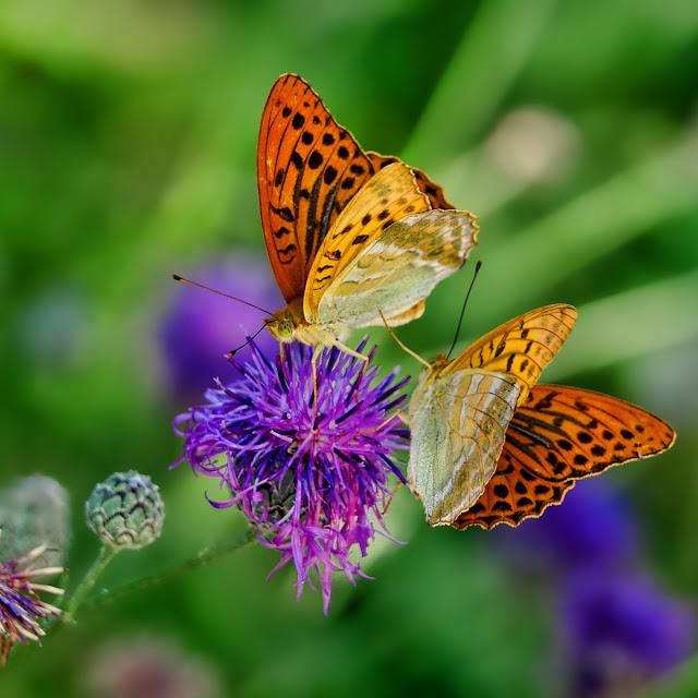 butterflies gathering nectar