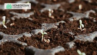 cannabis germination stage