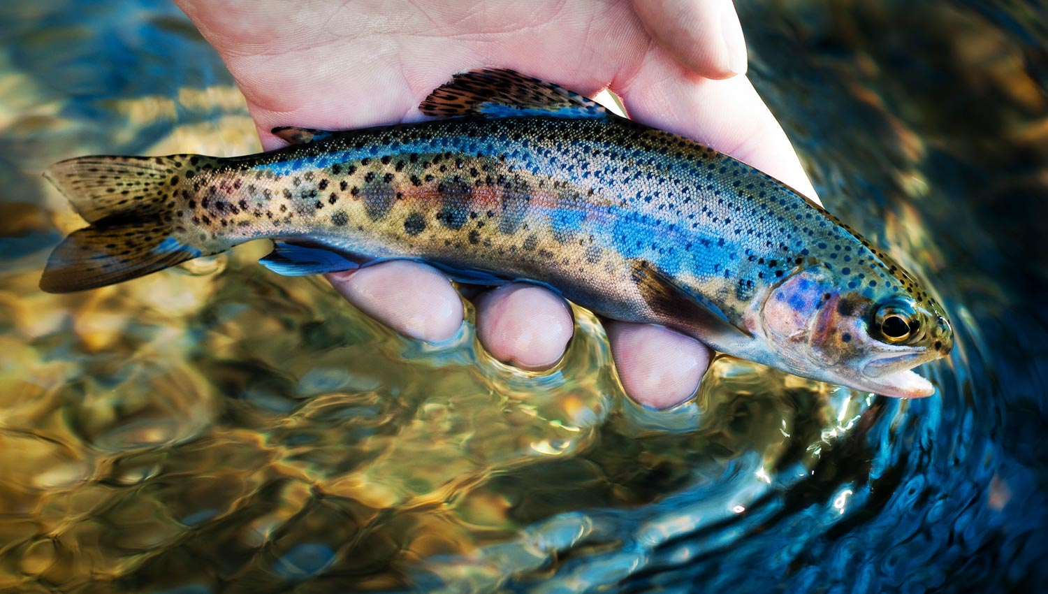 Freshwater fish beginning with r - Trout Fish Pictures_oncorhynchus