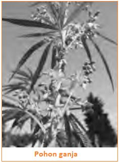 Narkotika Golongan 1, 2, 3 - Pohon Ganja